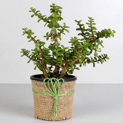 Classic Jade Plant: Terrace and Balcony Plants