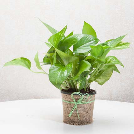 Classic Money Plant: Bedroom Plants