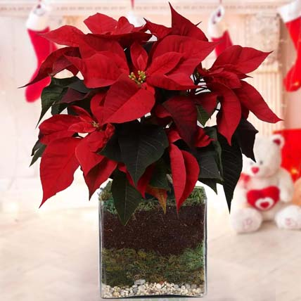 Poinsettia Plant: New Year Gifts