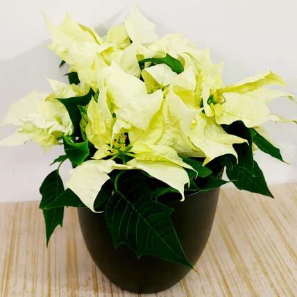 White Poinsettia Plant In Black Pot: Xmas Trees