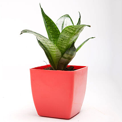 Green Sansevieria Plant In Red Plastic Pot: