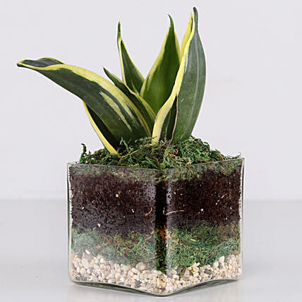 Lotus Sansevieria Plant 3 Glass Terrarium: New Arrival Products
