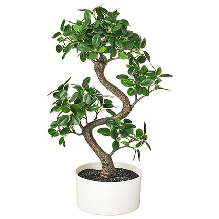 Beautiful Bonsai Plant In Round White Pot: Buy Plants