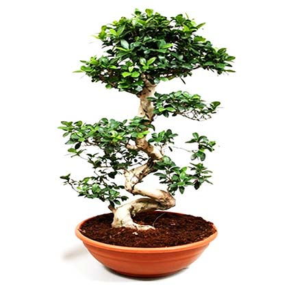 Lovely Bonsai Plant In Bowl Shaped Pot: Buy Plants