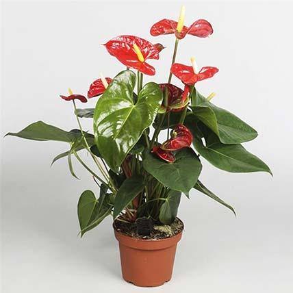 Anthurium Plant In Round Red Pot: Anthurium Plant