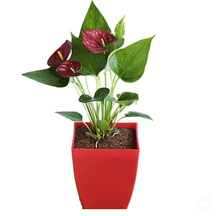 Anthurium Plant In Square Shaped Red Pot: Anthuriums Onliine