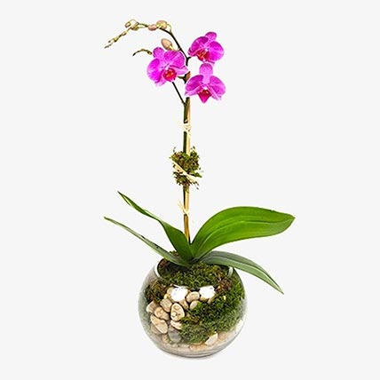 Mini Purple Moth Orchid Plant In Fishbowl Vase: orchid plant