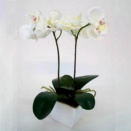 Two Stem Moth Orchid Plant In Ivory White Pot: Plants