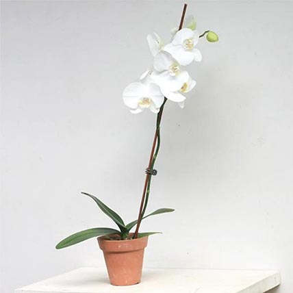 Vanda Pachara Delight Orchid Plant In Nursery Pot: orchid plant