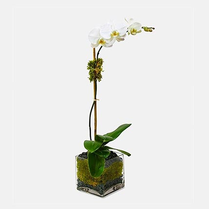 White Moth Orchid Plant In Square Glass Vase: Orchid Plants Singapore