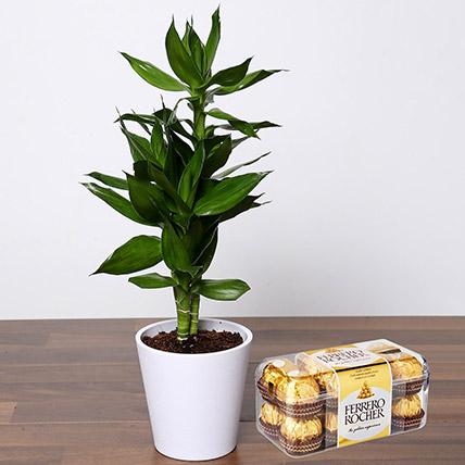 Dracaena Plant with Ferrero Rocher: Bedroom Plants