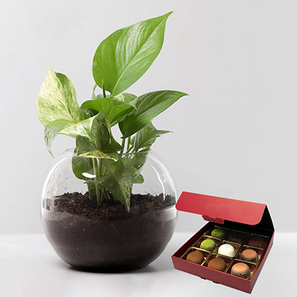 Money Plant with No Sugar Chocolate: Indoor Plants