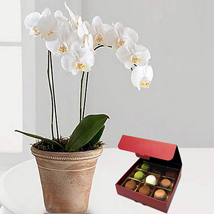 Orchid Plant with No Sugar Chocolate: Orchid Plants Singapore
