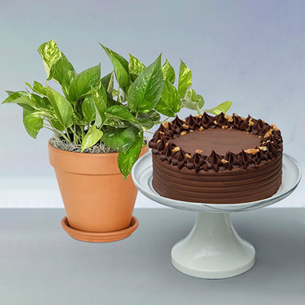 Walnut Cake with Golden Pothos: Plant Combo Gifts