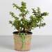 Classic Jade Plant