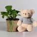 Money Plant in Black Pot with Teddy Bear