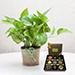 Green Money Plant with Happy Birthday Chocolate