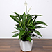 Amazing Peace Lily Plant