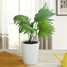 Areca-Palm-Plant