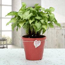 Syngonium-Plant