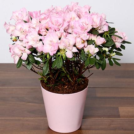 Beautiful Pink Azalea Plant