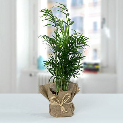 Chamaedorea In Jute Wrapped Plant