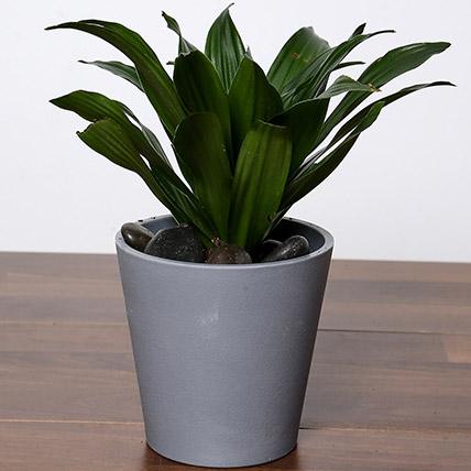 Dracaena Plant In Grey Pot
