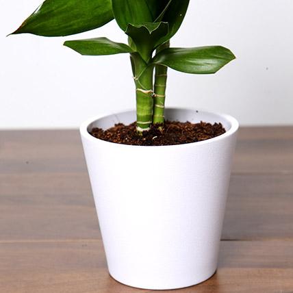 Dracaena Plant In White Pot