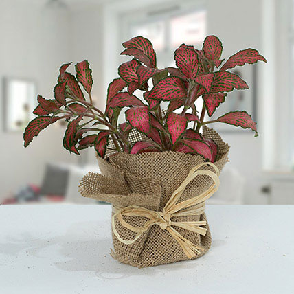 Lovely Fittonia Plant N Jute Wrapped Pot