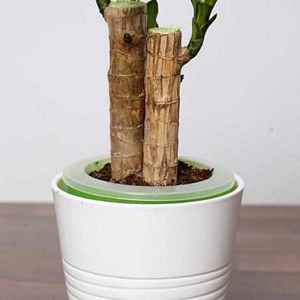 Massangeana Plant In Ceramic Pot