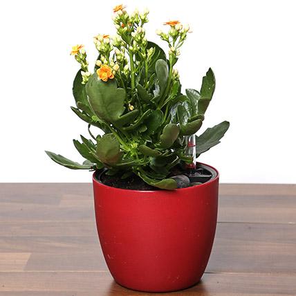 Orange Kalanchoe Plant In Red Pot
