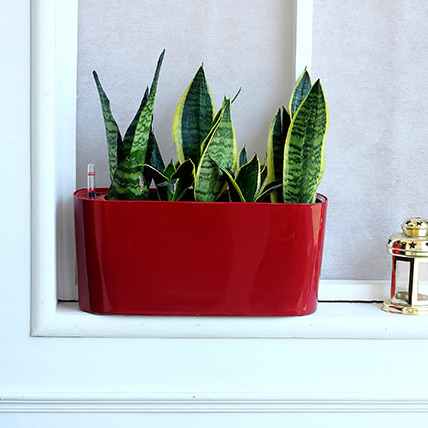 Sansevieria Plant in Red Plastic Pot