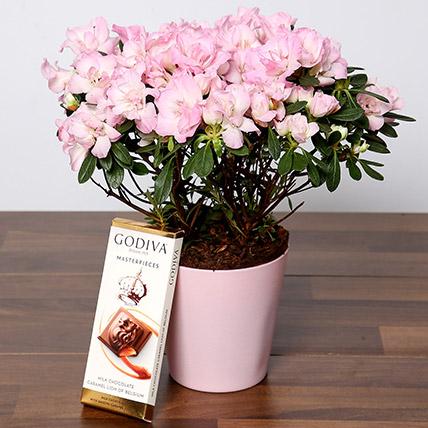 Beautiful Pink Azalea Plant and Godiva Chocolate