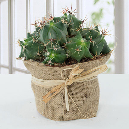 Lovely Cactus in Jute Wrapped Pot