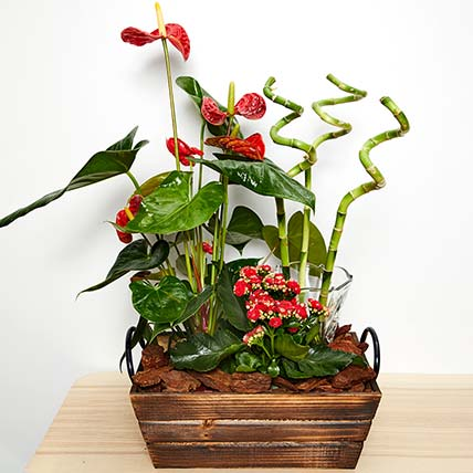 Anthurium & Red Kalanchoe Plant
