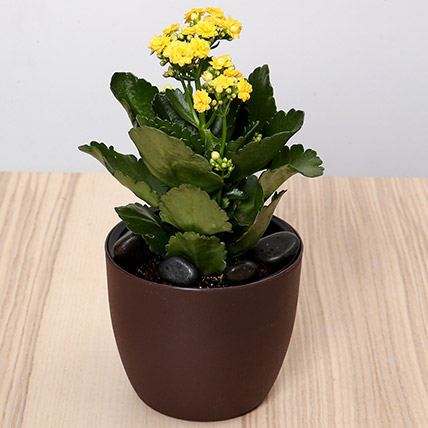 Yellow Kalanchoe Plant In Green Pot