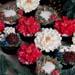 Santarina Belle Cupcake Set 12 Pcs